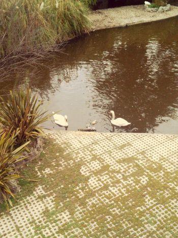 Park Dookie Dook Lagoon In The Park Good Morning Ducks