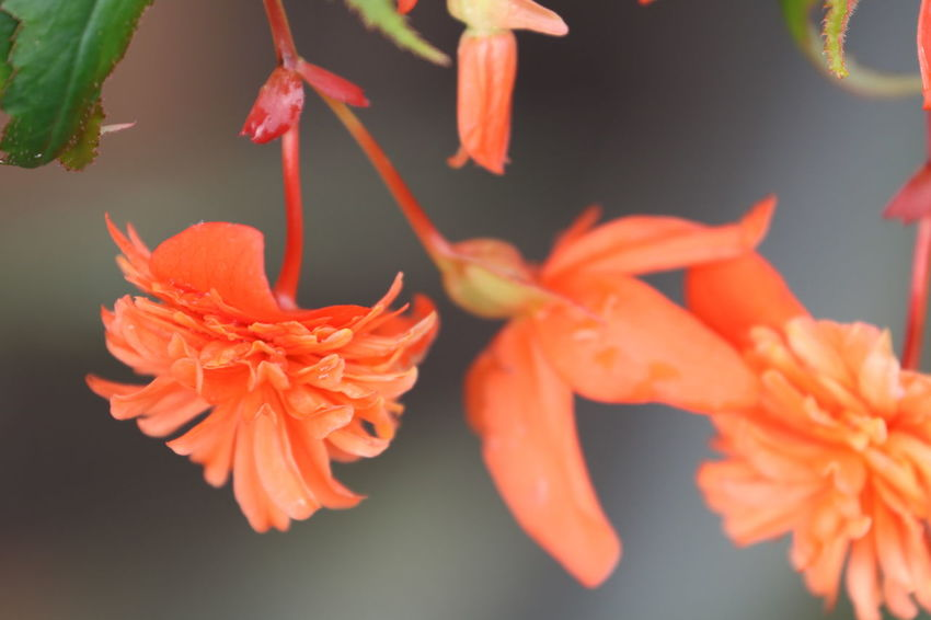 Autumn Begonia Flower In My Garden Beauty In Nature Blooming Bokeh Close-up Day Flower Flower Head Nature No People Orange Color Outdoors Plant