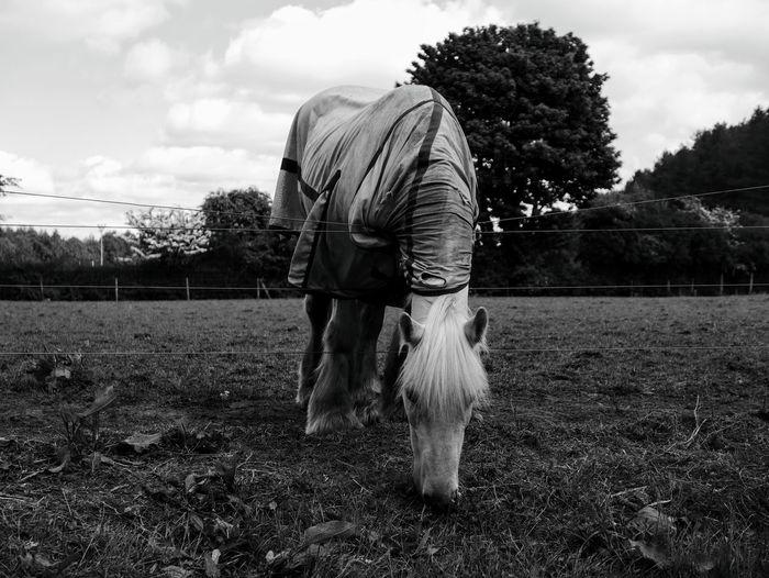 White horse in a field