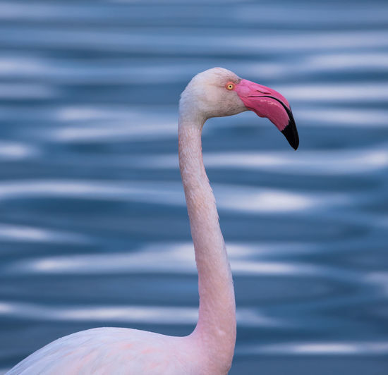 Animal Wildlife Animal Themes Animal One Animal Vertebrate Animals In The Wild Flamingo Pink Color Bird Focus On Foreground Close-up Beak Day Animal Neck No People Animal Body Part Water Nature Outdoors Animal Head  Profile View Freshwater Bird Flamingos In Water Flamingo Flamingo Beauty