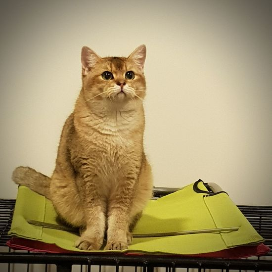 Pets Portrait Sitting Domestic Cat Feline Looking At Camera