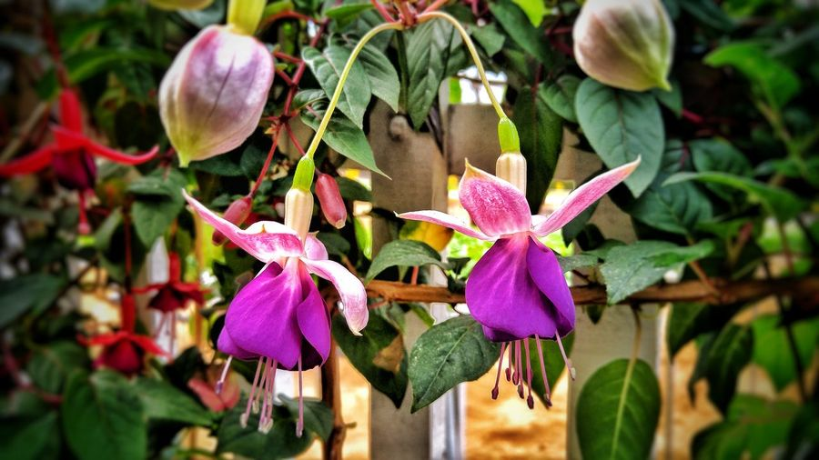 Twin flowers Cameron  Malaysia Purple Twin Bell Flower Flower Head Leaf Purple Close-up Plant Green Color Petunia Passion Flower Blooming Pollen Petal Orchid In Bloom