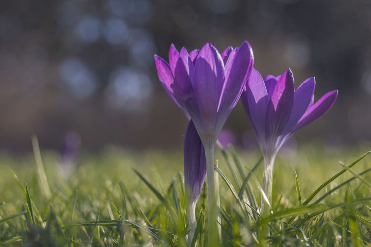 Crocus Flower Beauty In Nature Blooming Close-up Crocus Crocuses Spring Day Flower Flower Head Focus On Foreground Fragility Freshness Grass Growth Nature No People Outdoors Petal Plant Purple