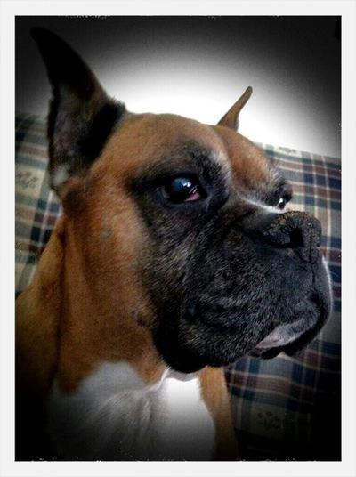 American Boxer, Nala.she was the sweetest dog ever. I highly recommend a Boxer to anyone that's looking for a family dog.There awesome with kids. Hanging Out Taking Photos