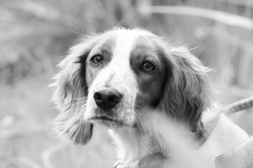 Spaniel amongst leaves in black and white Animal Themes Black And White Dog Close-up Day Dog Domestic Animals Focus On Foreground Looking At Camera Mammal Nature No People One Animal Outdoors Pets Portrait Spaniel
