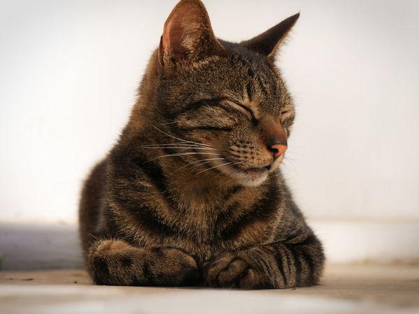 Animal Cat Closed Eyes Cute Animals Cute Cats Cute Pets Dirty Floor Mackerel Pet Pet Love Sitting