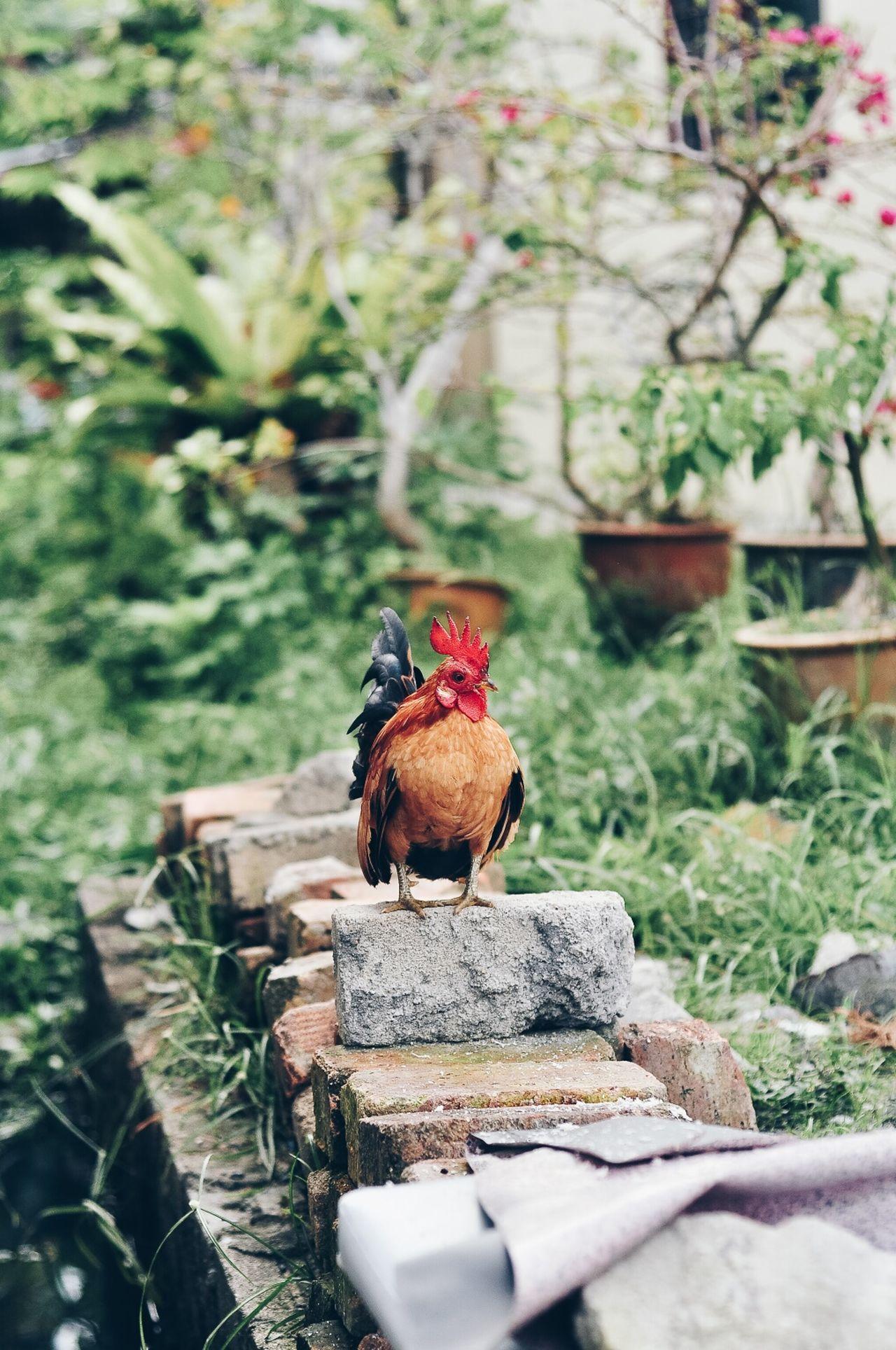 chicken - bird