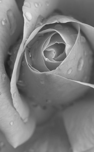 beautiful and relaxing rose close up macrophotography, Black and White. Pink Rose Rain Drops Rose Petals Rose After Rain Is Still A Rose! Backgrounds Beauty In Nature Blackandwhite Blooming Close-up Day Flower Flower Head Fragility Freshness Full Frame Growth Nature No People Outdoors Petal Rose - Flower Rose And Rain Roses Rose🌹 Wet