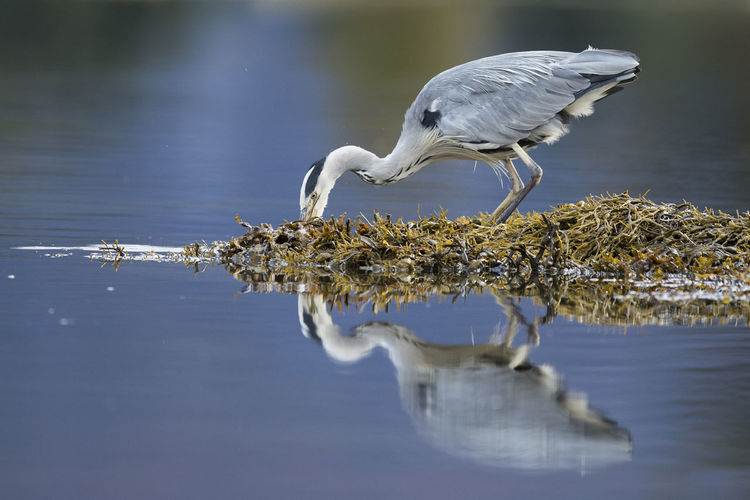 Animal Themes Animal Wildlife Animals In The Wild Bird Close-up Day Gray Heron Heron Nature No People One Animal Outdoors Reflection Sea Water Waterfront