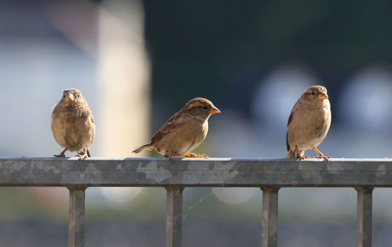 3 little birds... want cake. Bird Vertebrate Animal Animal Themes Perching Animal Wildlife Animals In The Wild Group Of Animals Focus On Foreground Day Railing No People Outdoors Nature Close-up Two Animals Sparrow Barrier Wood - Material Fence Dunnock