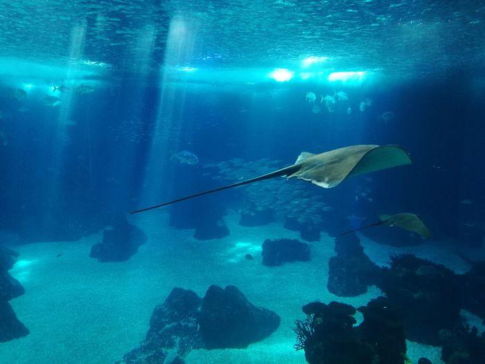 Raia Tank Aquarium Water Sea Sea Life Underwater Diving Animal Seaworld UnderSea Sea Life Swimming Underwater Water Sea Whale Shark Fish Tropical Fish Shark Large Group Of Animals Reef Soft Coral Coral