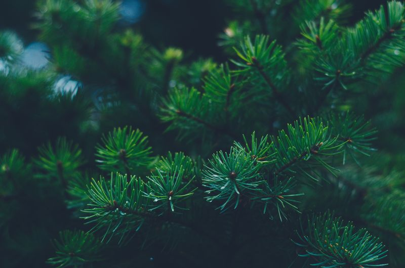 Close-up of a spruce tree.