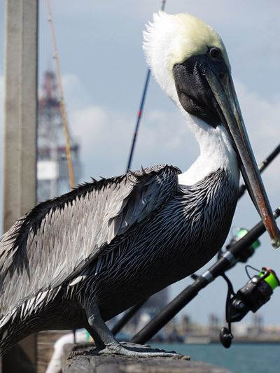 Port Aransas Texas Bird Animal Themes One Animal Animals In The Wild Animal Wildlife Focus On Foreground Perching Day No People Beak Outdoors Close-up Nature White Stork