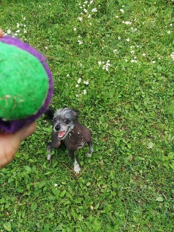 Throw that ball Chinese Crested Dog