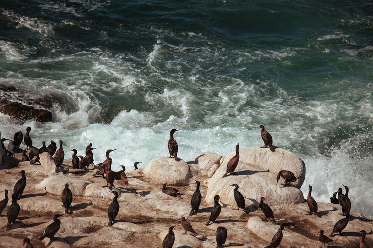 Flock of birds in sea. la jolla beach wildlife. cormorants resting on cliff