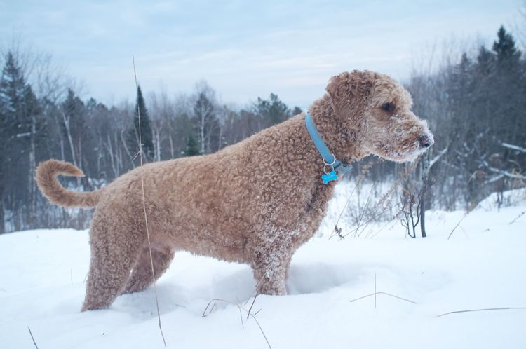 January 23, 2016 Animal Animal Themes Close Up Cold Cold Temperature Curiosity Day Dog Domestic Animals Duluth Full Length Goldendoodle Lakesuperior Looking Mammal Minnesota No People One Animal Pets Relaxing Sitting Two Animals White Winter