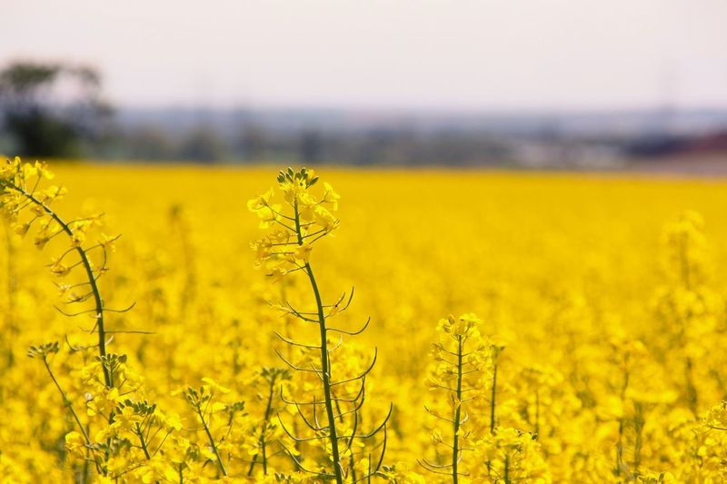 Yellow Agriculture Crop  Rural Scene Farm Oilseed Rape Field Flower Nature Landscape Tranquil Scene Sky Focus On Foreground Growth Plant No People Tranquility Day Cultivated Beauty In Nature Paint The Town Yellow Perspectives On Nature