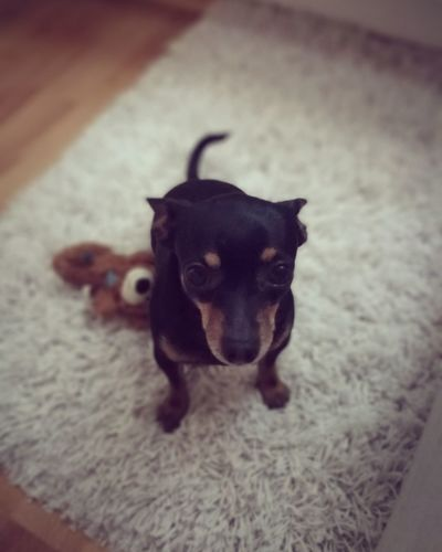 Dog Dog Pets Domestic Animals Looking At Camera Portrait Animal Themes One Animal Love ♥ Prague Ratter Prazskykrysarik