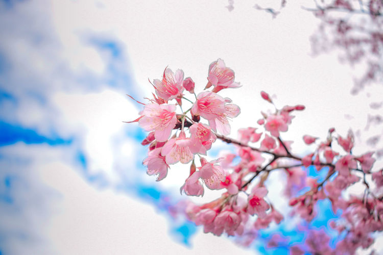 Flower Flowering Plant Plant Fragility Freshness Beauty In Nature Vulnerability  Pink Color Blossom Growth Nature Close-up Tree Petal Springtime Branch Cherry Blossom Selective Focus Day No People Flower Head Outdoors Cherry Tree Pollen Spring It's About The Journey