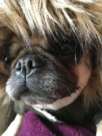Chug dressed for winter New Coat Pug Life  Chug Cold Weather Fun Cute Dog  Dog Dog Coat Dogs Face