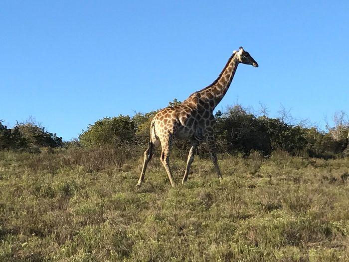 South Africa; wild giraffe