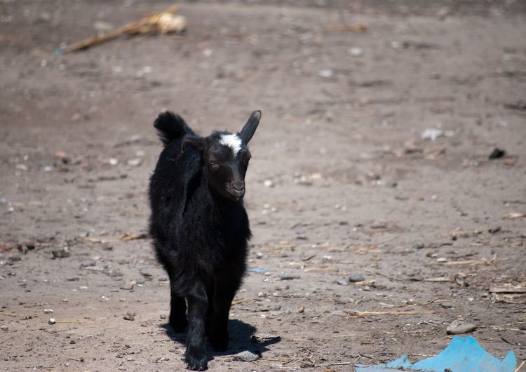 Pet Portraits Black Color Animal Themes One Animal Domestic Animals Field Outdoors No People Day Nature Goat EyEmNewHere The Week On EyeEm Romania Ialomita County Freedom Goat Baby Goat Black Baby Goat Tranquil Scene