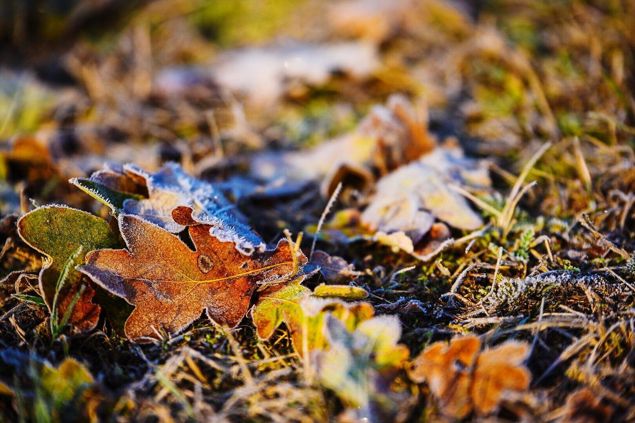 leaf, autumn, change, dry, selective focus, fallen, nature, day, outdoors, no people, close-up, maple leaf, tranquility, beauty in nature, grass, maple, fragility