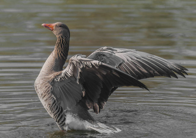 Animals In The Wild Animal Wildlife Animal Themes Bird Vertebrate Animal One Animal Water Lake Water Bird Focus On Foreground Nature Day No People Goose Greylag Goose Outdoors Spread Wings Zoology Flapping