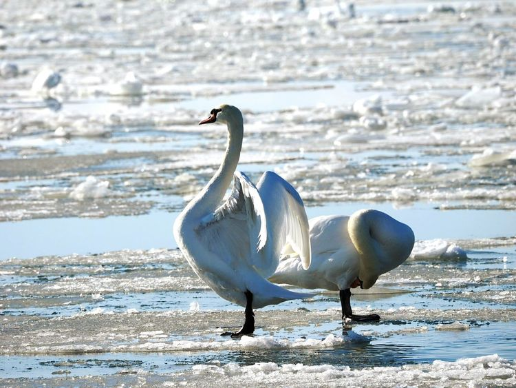 Bird Animals In The Wild Animal Wildlife Sunny Winter Day Frozen Sea Swan Bathing Ritual Animal Nature Animals In The Wild Spreading Wings Sea Bird Ice And Water Sea Life Bathing Bird Cold Temperature Beauty In Nature Winter Nature Outside Swan Couple Swan On Ice Animal Themes Outdoors Ice Winter Bathing Swan