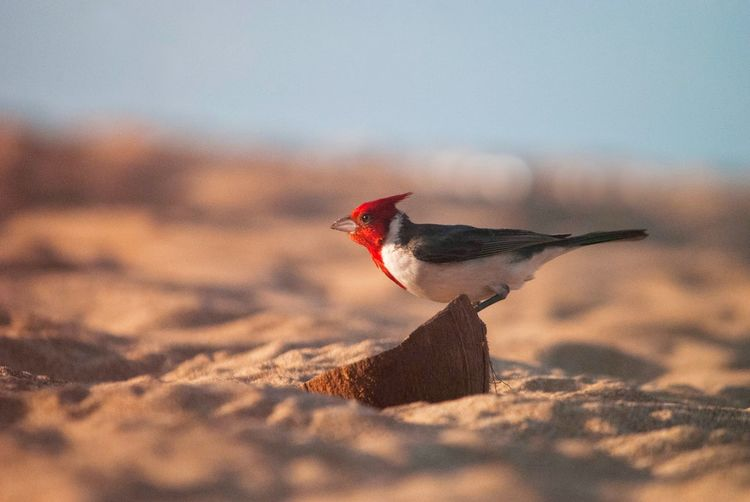 The red-crested cardinal (Paroaria coronata) is a songbird with a prominent red head and crest. This species belongs in the family of the tanagers (Thraupidae).Notwithstanding its similar name, this bird is not closely related to the true cardinal family (Cardinalidae). It is found in northern Argentina, Bolivia, Paraguay, Uruguay, Brazil's Rio Grande do Sul and the Pantanal. Its natural habitats are subtropical or tropical dry shrubland and heavily degraded former forest. Among other regions, it is found in southern part of the Pantanal. It has also been introduced to Hawaii and Puerto Rico. In Brazil, it has been introduced to various places outside its historical range, as in the Tietê Ecological Park in São Paulo, alongside its very similar-looking close relative, the red-cowled cardinal (P. dominicana).The yellow-billed cardinal (P. capitata) could be easily confused with the red-crested cardinal; both the red-cowled and yellow-billed have a very short crest that is not visible except in excited birds, and in the case of the latter, a black throat, darker upper parts and a bright yellow bill. Hawaii One Animal Bird Nature Animals In The Wild No People Land Vertebrate Animal Wildlife Climate Beauty In Nature Sand