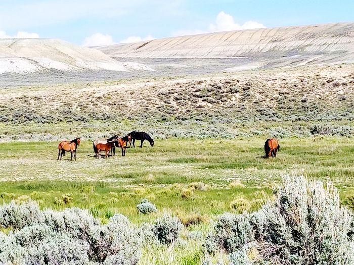 Wyoming Wild Horses In Wyoming Desert Horse Sky Landscape Grazing Arid Climate Medium Group Of Animals