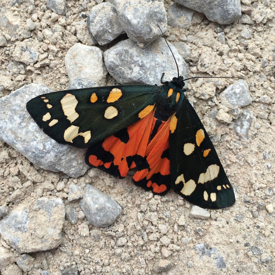 Animal Themes Black Butterfly Butterfly - Insect Close-up Day Ground High Angle View Insect Moth Nature Nature No People Orange Outdoors Picos De Europa Shadow SPAIN Tiger Moth