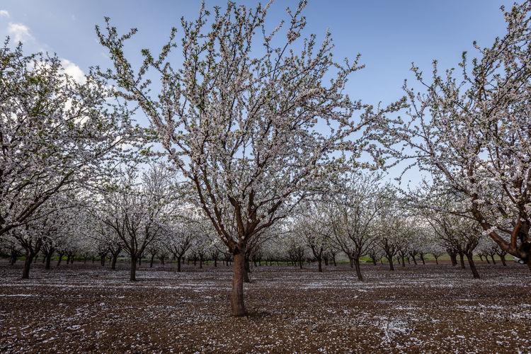 View of flowering trees on field against sky