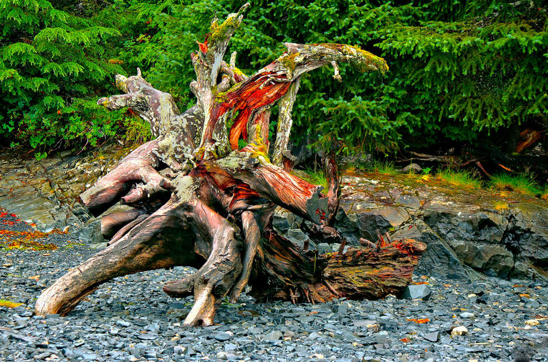 Colourful Tree Stump Adventure Alaska Colourful Tree Stu Dead Tree Deterioration Nature Pebble Beach Travel Tree Roots  Tree Stump Variation