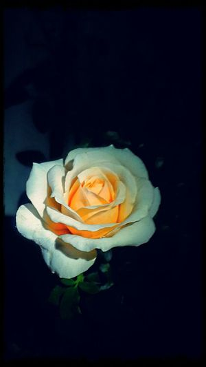 Midnight In The Garden Of Good And Evil Creme Caramel Rose🌹 Luminous
