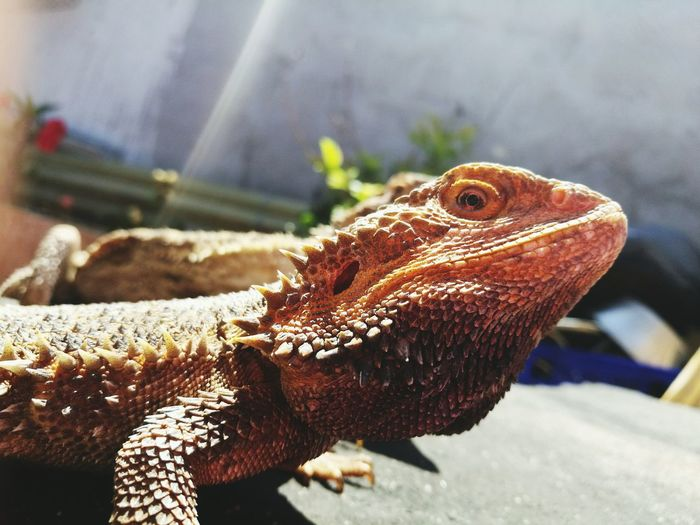 Pogona Reptile One Animal Bearded Dragon Animal Themes HaweiP9 Domestic Animals Beauty In Nature