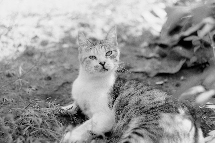 Pani Krzesińska. 35mm Film CHM Universal 100 Black And White Cat Feline Film Photography Helios 44-2 58mm F2