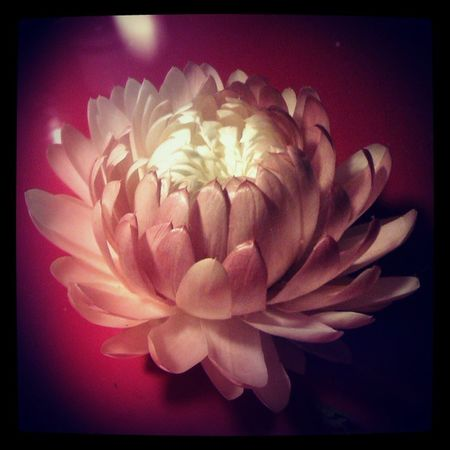 Hint of pink Everlastings Strawflower Cutflowers Bloom flower flowers petals pink red lamplight boredom igers instadaily nice lovely