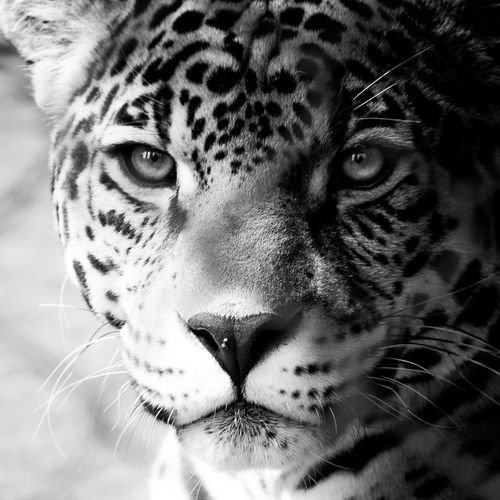 Animal Head  Animal Markings Animal Themes Animals In The Wild Close-up Day Feline Leopard Looking At Camera Mammal Nature No People One Animal Outdoors Portrait Safari Animals Tiger Whisker