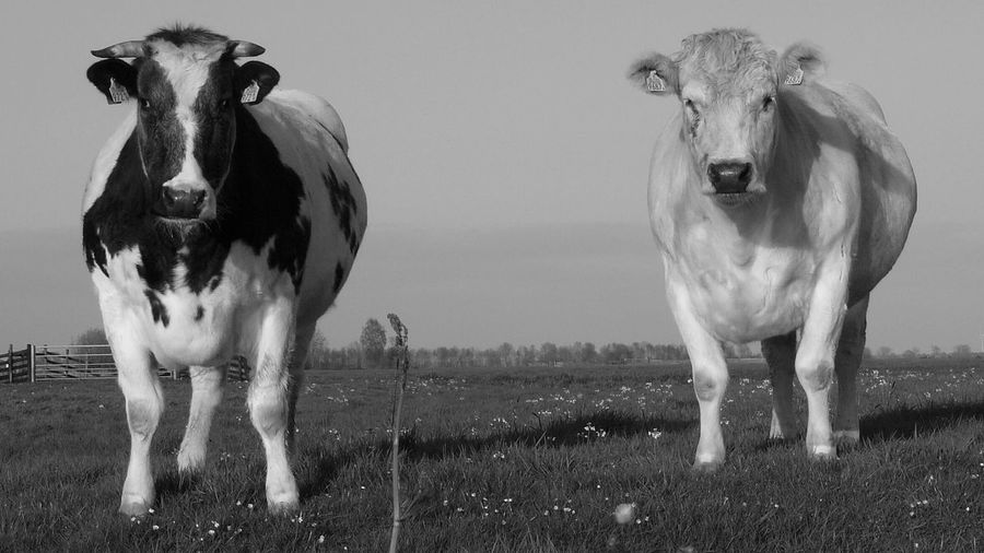 Farm Life Cows Cows In A Field Hollandse Koeien