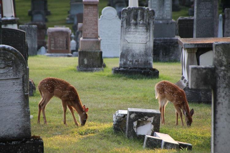 Cemetery Grave Gravestone Graveyard Memorial No People Tombstone twins White Tailed Deer Naturelovers Twins, Fawns, Baby Deer, Nature, White Tailed Dee