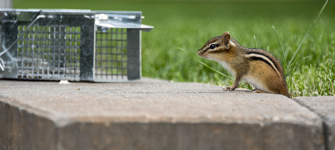 Chipmunk is attracted by bait within a humane trap for relocation away from backyard. Backyard Critters Pest Control Animal Release Animal Wildlife Animals In The Wild Chipmunk Humane Trap Metal Trap Nature No People One Animal Outdoors Pest Rodent Trap