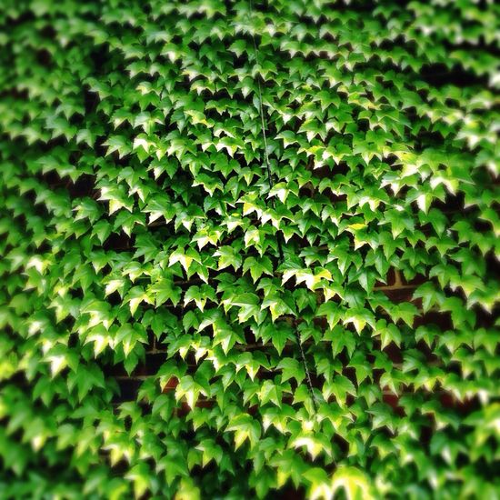 Ivy Walking Around Wall Of Ivy IPhone5