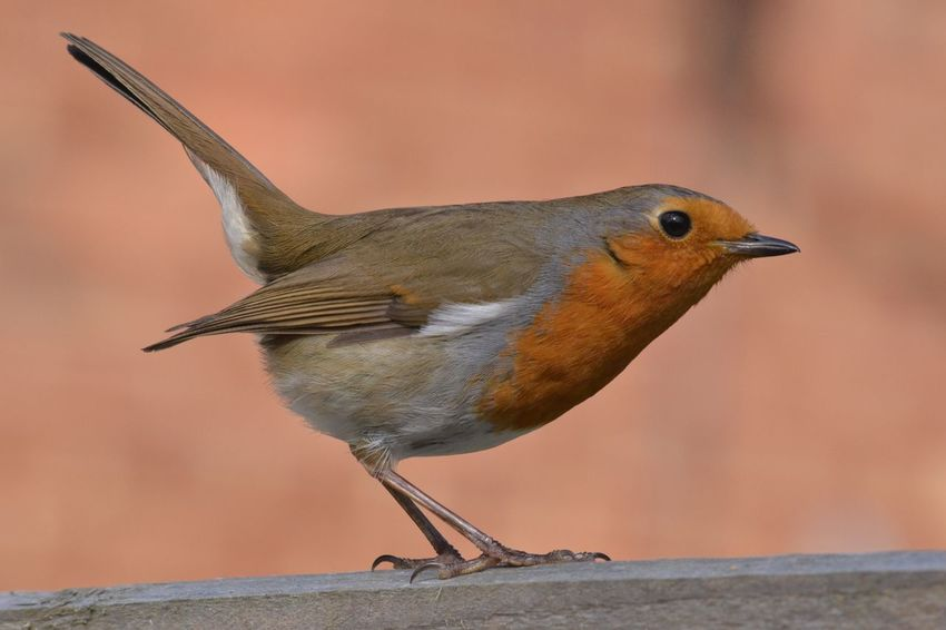 Robin Robin Redbreast Bird Nature Close-up