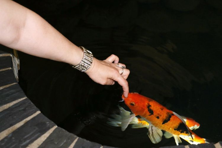 Close-up of hand touching koi fish in water