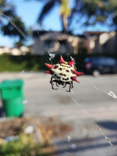 just hanging out Spiny Orb Weaver Insect Spider Spider Web Close-up Arachnid Web Survival Vulnerable Species Spinning