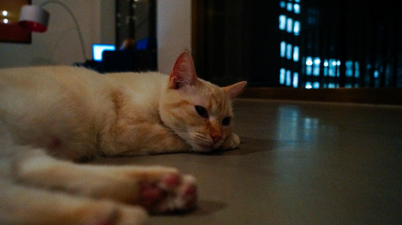Cute lazy cat lying on the floor