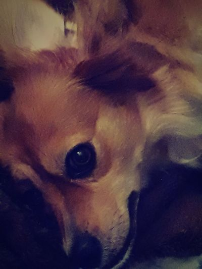 Dog Bed Time Brown Eyes Smaile Dog My Favorite Pet One Animal Pets Animal Themes Domestic Animals No People Portrait Mammal Close-up Indoors  Looking At Camera