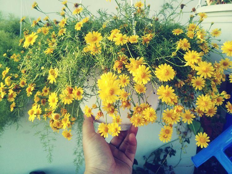 Hoa có vàng nơi ấy Little Daisy Peaceful Binbin OpenEdit Yellow 2015🙆🎊🎉 Drawmylife Littlesunshine