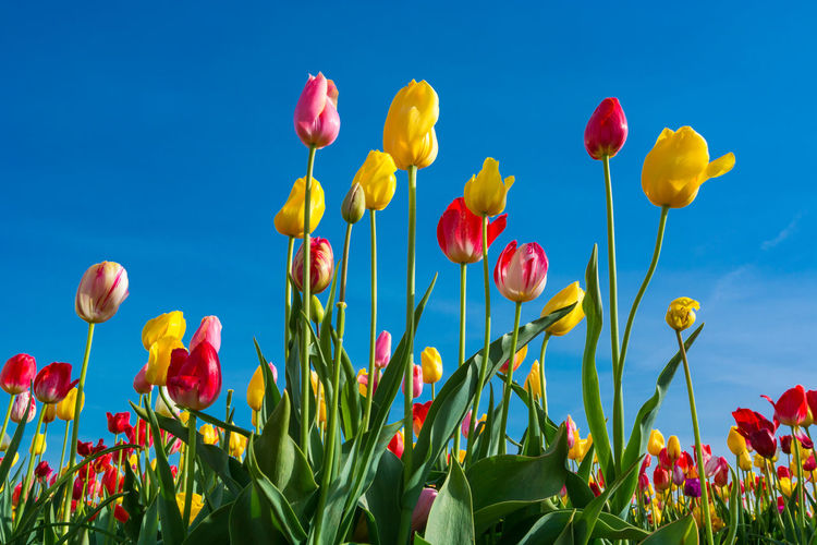 Plant Flower Flowering Plant Beauty In Nature Freshness Growth Nature Yellow Sky Fragility Flower Head Vulnerability  Petal No People Blue Close-up Inflorescence Green Color Tulip Red Outdoors Springtime